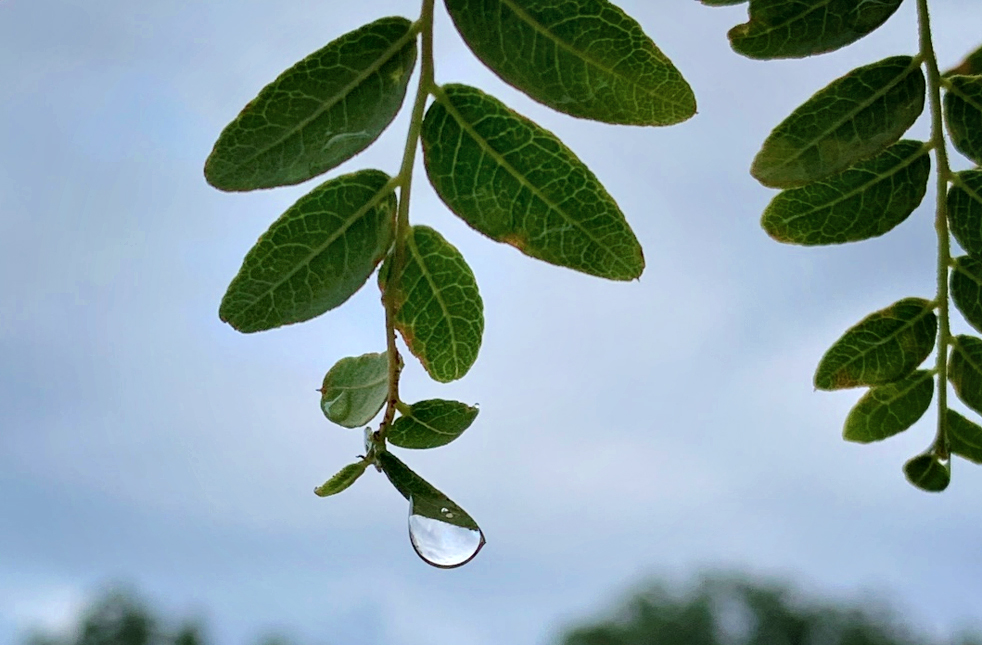 raindrop poised on the end of a leaf
