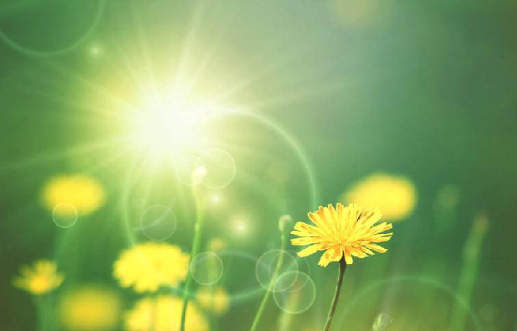 dandelion and sunshine